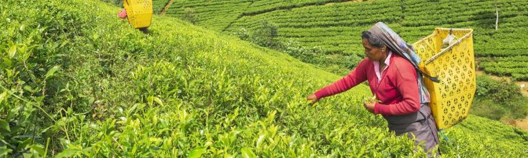 Woman picking up tea leaves