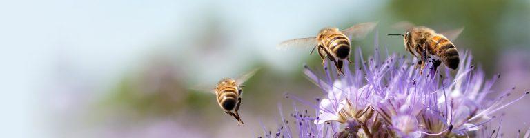 Tree honey bees pollinating a purple flower