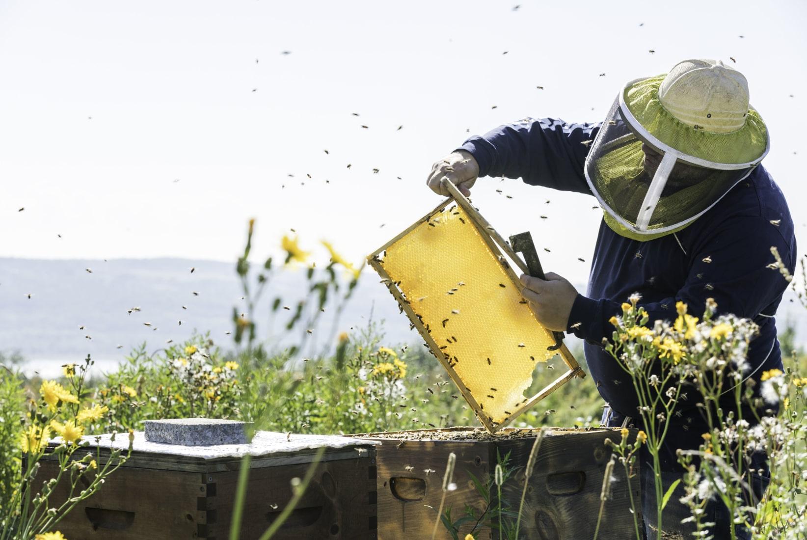 Beekeeper harvesting honey from bees