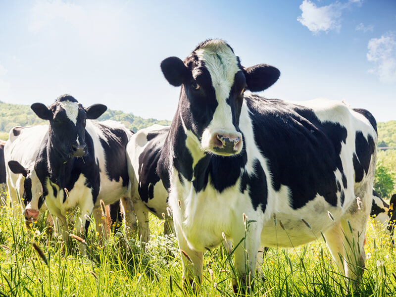 Cows grazing on the grass